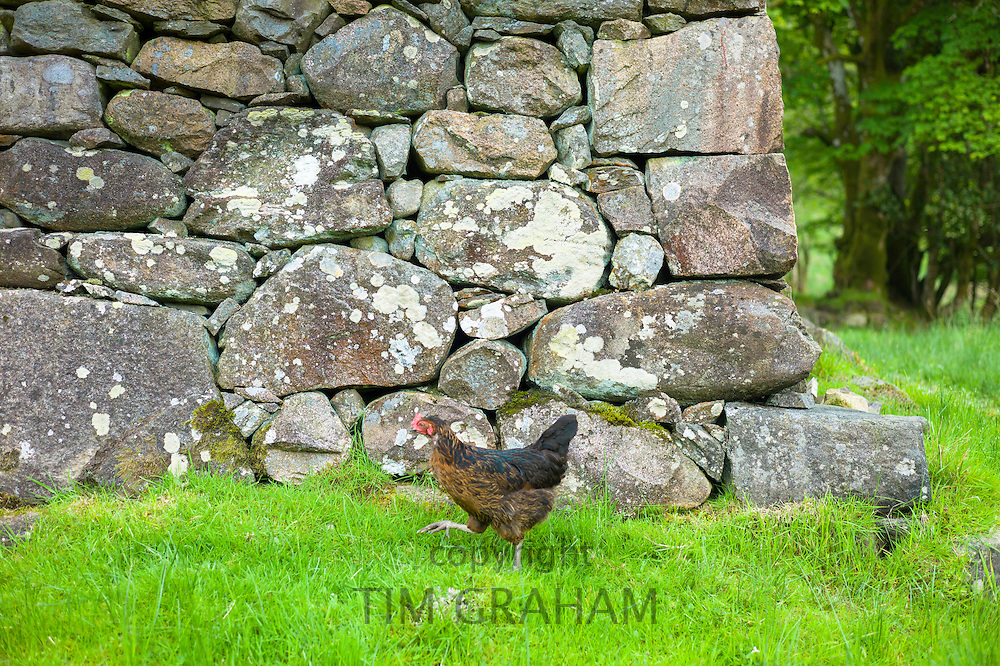 Brown hen striding along by old drystone barn near Inveraray in the Highlands of Scotland