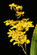 Oncidium orchid grown by the photographer, 17 inches tall, with one multibranched flower spike supporting 23 individual blossoms.<br /> <br /> Oncidium is a genus that contains over 330 species of orchids.  It is an extraordinarily large and diverse group from varied habitats. Most species in the Oncidium genus are epiphytes (grow on other plants), although some are lithophytes (grow on rocks) or terrestrials (grow in the ground). They are widespread from northern Mexico, the Caribbean, and some parts of South Florida to South America, usually occurring in seasonally dry areas.  This genus was first described by Olof Swartz in 1800, a Swedish botanist and taxonomist and the first specialist of orchid taxonomy.  The name is derived from the Greek word &quot;onkos&quot;, meaning &quot;swelling&quot; due to the callus at the flower's lower lip.
