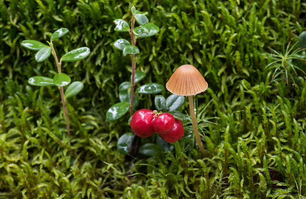 One very small brown mushroom (unknown species), and a low-bush cranberry (Vaccinium vitas-idaea)  bunche with red fruit, also called mountain cranberry and lingonberry, and moss background, summer, Denali National Park, Alaska, USA