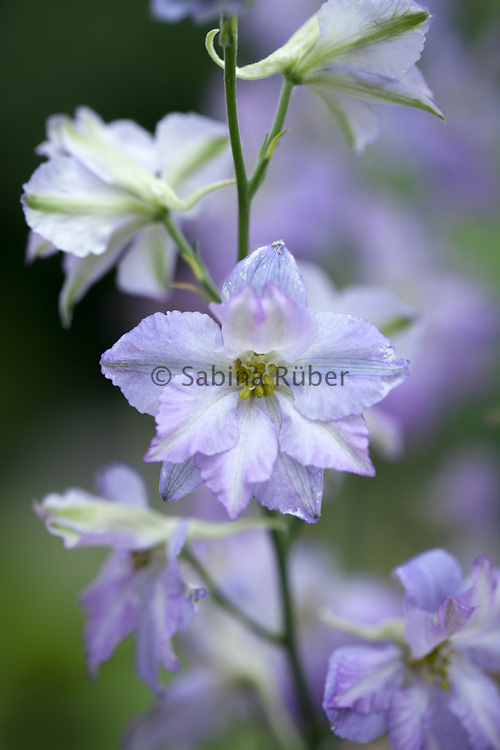 Delphinium consolida 'Frosted Skies' -larkspur