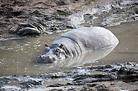happy Hippopotamus (always smiling) in the Mara river in the masai mara reserve in kenya africa