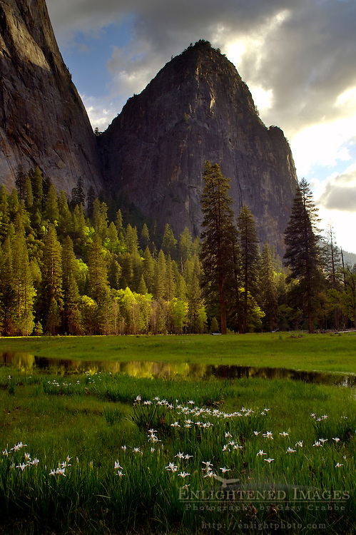 Wild Iris bloom in meadow below Middle Cathedral Rock at sunset, Yosemite Valley, Yosemite National Park, California