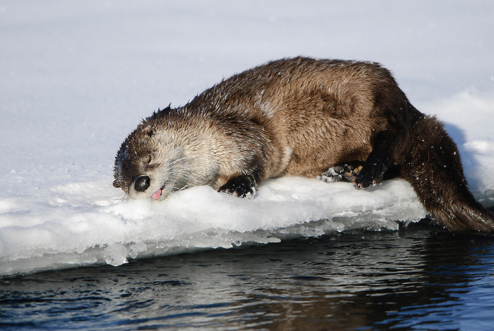 Sleeping River Otter - Lontra canadensis - Northern Rockies