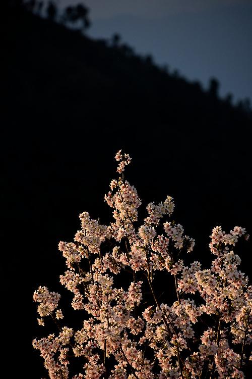 Blossom trees at sunset, peace Pagoda, Pokhara