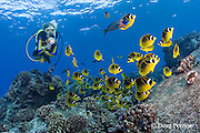 scuba diver observes school of racoon or raccoon butterflyfish, Chaetodon lunula, and saddle wrasse, Thalassoma duperrey, Honokohau, Kona, Big Island, Hawaii ( Central Pacific Ocean ), dive site called Eel Cove, near Kaiwi Point, MR 356