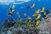 scuba diver observes school of racoon or raccoon butterflyfish, Chaetodon lunula, and saddle wrasse, Thalassoma duperrey, Honokohau, Kona, Big Island, Hawaii ( Central Pacific Ocean ), dive site called Eel Cove, near Kaiwi Point, MR 356