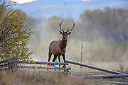 A young bull elk stands near a No Hunting sign and fence in early morning mist.