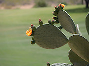Spineless prickly pear cactus, Oputia ficus indica, in bloom in the spring with bright orange yellow flowers along the edge of its large smooth pads, Phoenix, Arizona, USA, April 2014.