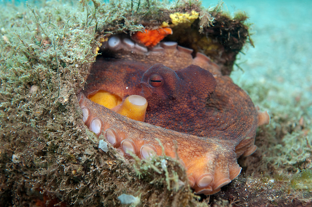 A Common Octopus, Octopus vulgaris, hides inside an old pipe on the bottom of the Lake Worth Lagoon in Singer Island, Florida, United States.