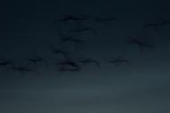 Platte River valley, Nebraska<br /> <br /> Sandhill cranes in flight at twilight