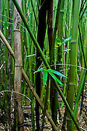 Bamboo stand with new shoots and leaves, bamboo forest, huelo, maui, hawaii