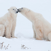 Two male polar bears interact after play fighting. Churchill, Manitoba, Canada
