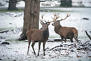 © Licensed to London News Pictures. 17/01/2016. Richmond, UK Deer in the snow in Richmond Park today 17th January 2016. Photo credit : Stephen Simpson/LNP