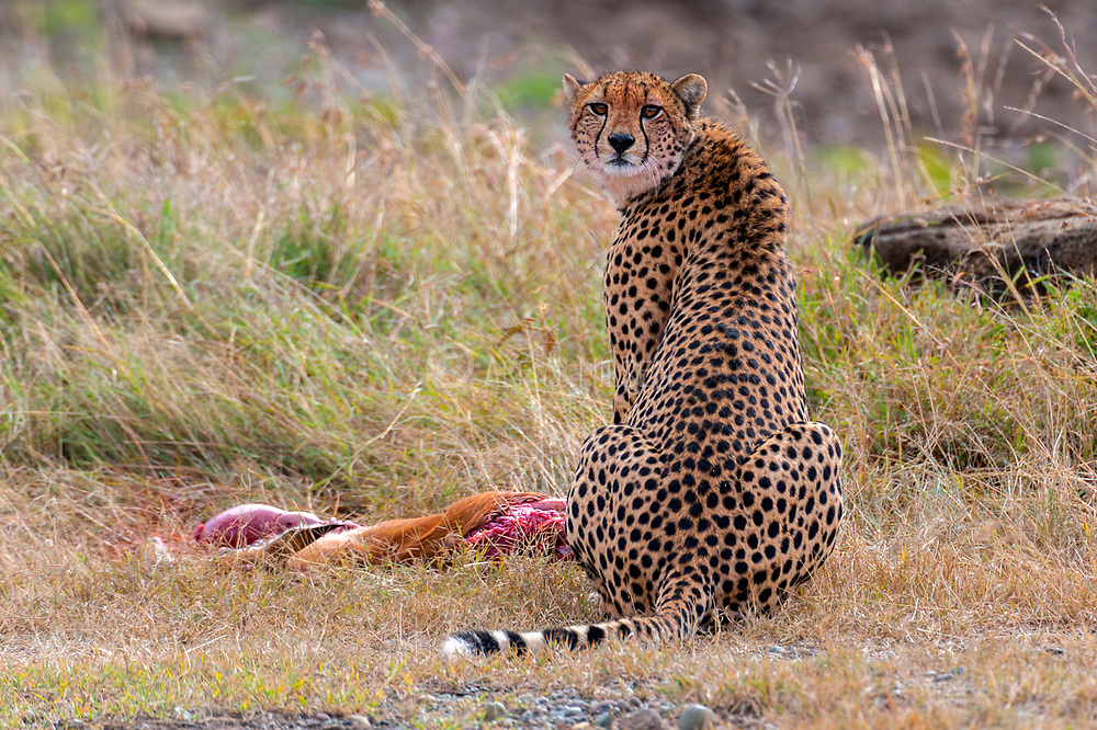 Cheetah with prey in Sweetwaters, Kenya.