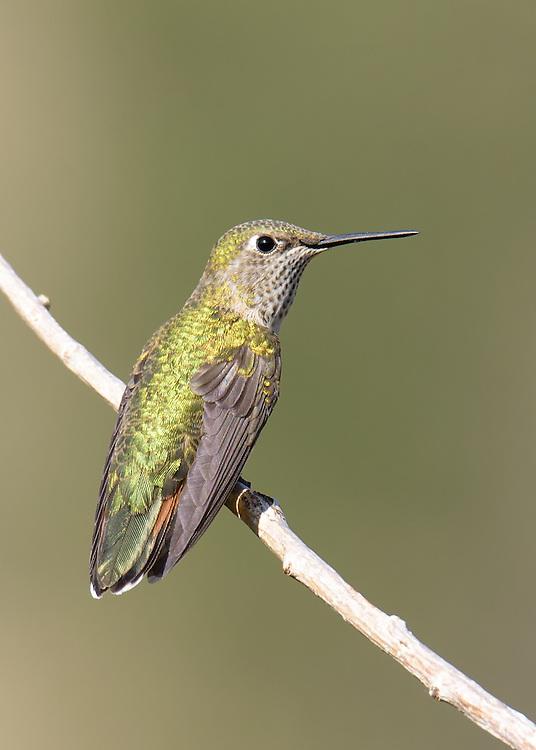 Hummingbird (female) perching on branch in Lyons, Colorado
