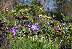 Hepatica nobilis and hellebore in John Massey's garden.