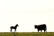 In der halboffenen Weidelandschaft in Crawinkel, Thüringen, leben gemischte Herden auf den Weiden. | Horses and cattle in mixed herds grazing on the fields in Crawinkel.