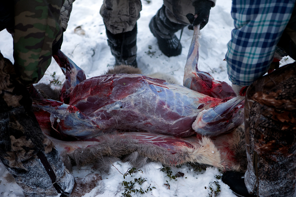 Hunters disembowel a shot deer in the Yakutian Taiga a few hundred kilometers from the city of Yakutsk. Yakutsk (Russian: Яку́тск) is a city in the Russian Far East, located about 4° (450 kilometres) south of the Arctic Circle. It is the capital of the Sakha (Yakutia) Republic in Russia with a major port on the Lena River. The city has a population of 264.000 (2009). Yakutsk is one of the coldest cities on Earth. The average monthly winter temperature in January is around −43,2 °C. Yakutsk, Jakutsk, Yakutia, Russian Federation, Russia, RUS, 24.01.2010.