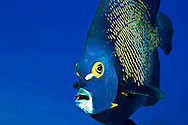 French Angelfish Close Up, Pomacanthus paru, (Bloch, 1787), Grand Cayman