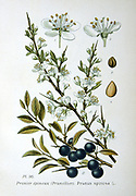 Blackthorn or Sloe (Prunus spinosa). Sprigs showing fowers and fruit. Deciduous shrub or small tree native to Europe and western Asia. Widespread in British hedgerows. From Amedee Masclef 'Atlas des Plantes de France', Paris, 1893.