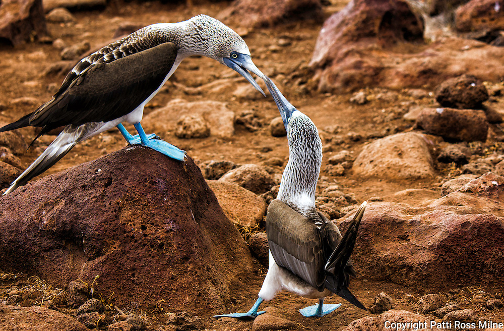 Blue Footed Boobies during their mating dance.