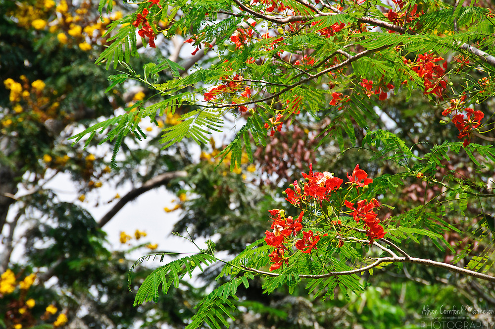 The red-orange flowers of the Delonix Regia, Gulmohar Tree, in Kerala, India