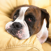 Portrait of a Boxer resting his head on sofa arm.