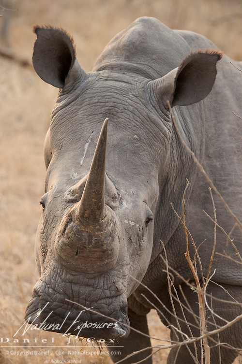 White rhino (Ceratotherium simum), Londolozi Private Game Reserve, South Afirca.