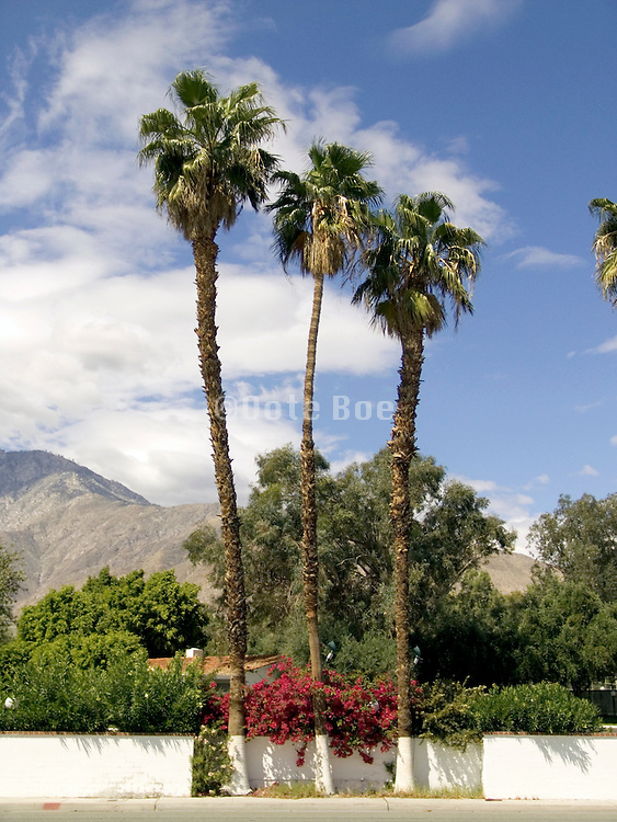 three palm trees together against mountain landscape Palm Springs USA.