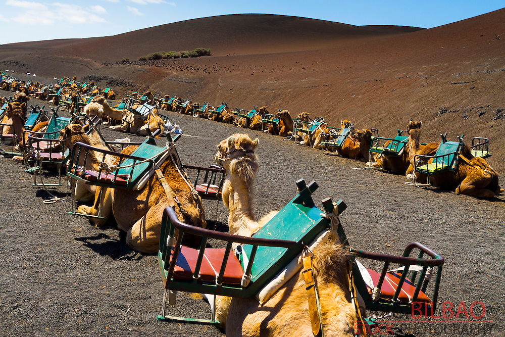 Camel ride. Timanfaya National Park. Lanzarote, Canary Islands, Atlantic Ocean, Spain.