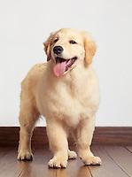 Golden Retriever four month old puppy