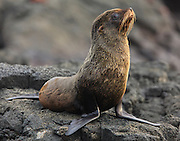 This Galapagos Fur Seal (Arctocephalus galapagoensis) suns himself in the fading evening sunlight on Santiago Island, Galapagos, Ecquador.  The Galapagos Fur Seal is one of the few animals that fear humans in the Galapagos so we had to quietly approach and remain a good distance away.  They were hunted, nearly to extension in the 19th century.