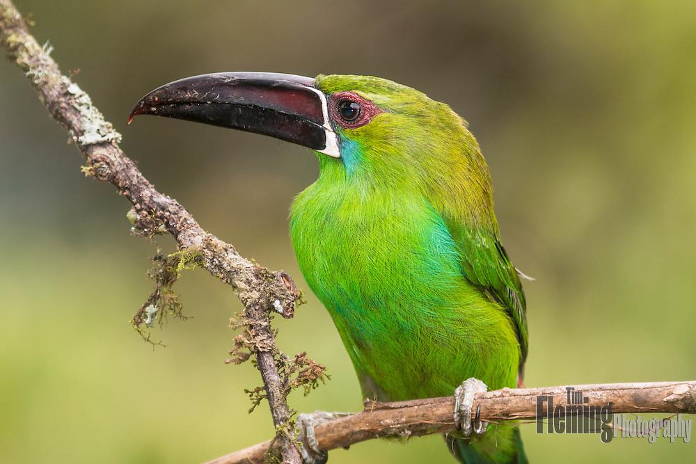 Crimson-rumped toucanet in the Tandayapa Valley, Ecuador