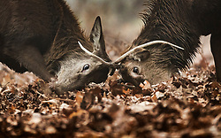 © Licensed to London News Pictures. 05/02/2020. London, UK. Two young bucks clash antlers during a foggy morning Bushy Park in south west London. Photo credit: Peter Macdiarmid/LNP