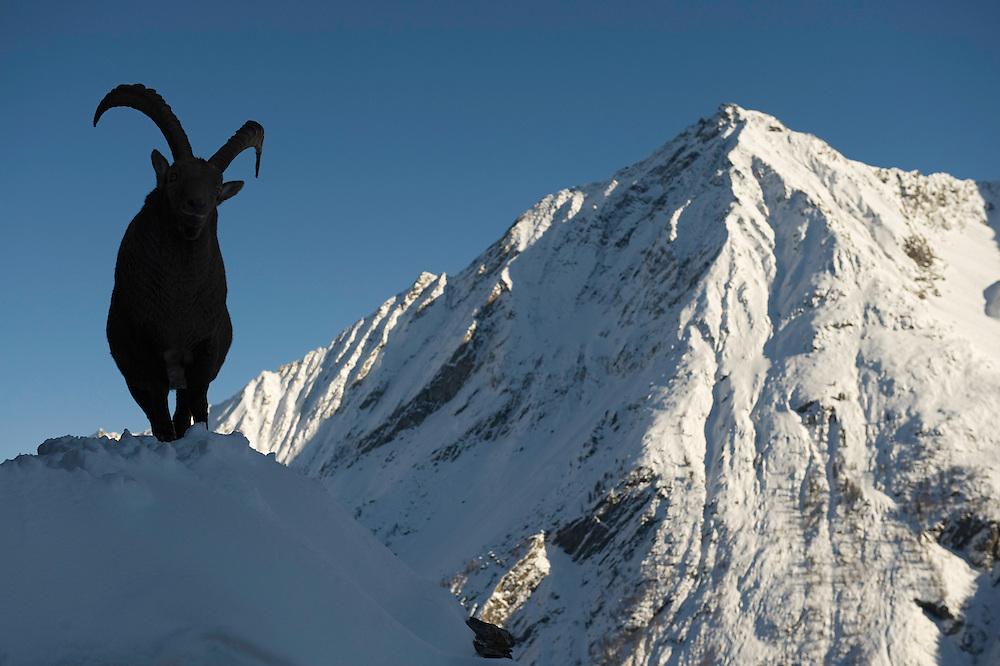 26.11.2008.Alpine Ibex (Capra ibex) in alpine landscape..Gran Paradiso National Park, Italy
