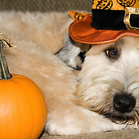 Soft Coated Wheaten Terrier, dog, in Halloween Witch hat with pumpkin