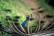 peacock on sharon's farm, morrow OH