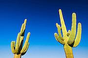 Saguaro cactus, Organ Pipe Cactus National Monument, Arizona USA