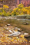 Autumn along the Virgin River in Zion canyon, Zion National Park Utah USA