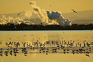 Flock of birds wade in Salton Sea at sunset near cloud of industrial pollution, Imperial Valley, California