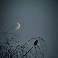 A crow sits in the bare branches of a birch as the moon rises on an autumn evening.