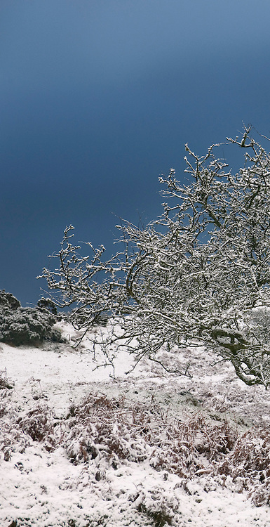 Snow covers a Crataegus monogyna (common hawthorn) near the A712 road in the Galloway Forest Park, Dumfries &amp; Galloway, Scotland<br /> <br /> <br /> www.plantation.uk.com