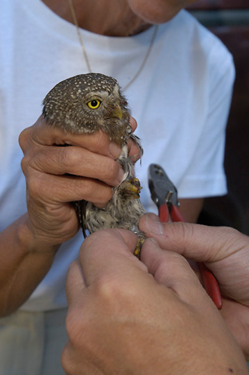 Denver Holt, biologist for the Owl Research Institute in Charlo, Montana, studying the Northern Pygmy Owl (Glaucidium gnoma) Montana.