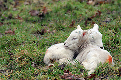 © Licensed to London News Pictures. 09/02/2016<br /> Spring lambs playing in a field in Penshurst, Kent. Photo credit: Grant Falvey/LNP