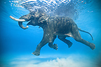 Rajan, the last salt water swimming elephant on Earth our for his morning stroll off Havelock Island in the Andmans, India