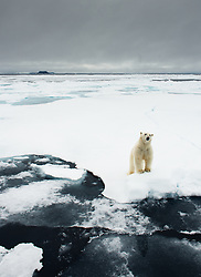 Polar bear (Ursus maritimus) in Svalbard. Rossøya in the background is the northern point of Svalbard, at 80° 49′ 44.41″ North, and thereby also in the Kingdom of Norway. The distance to the Northpole is 1017 km, to Nordkapp on the Norwegian mainland 1083 km