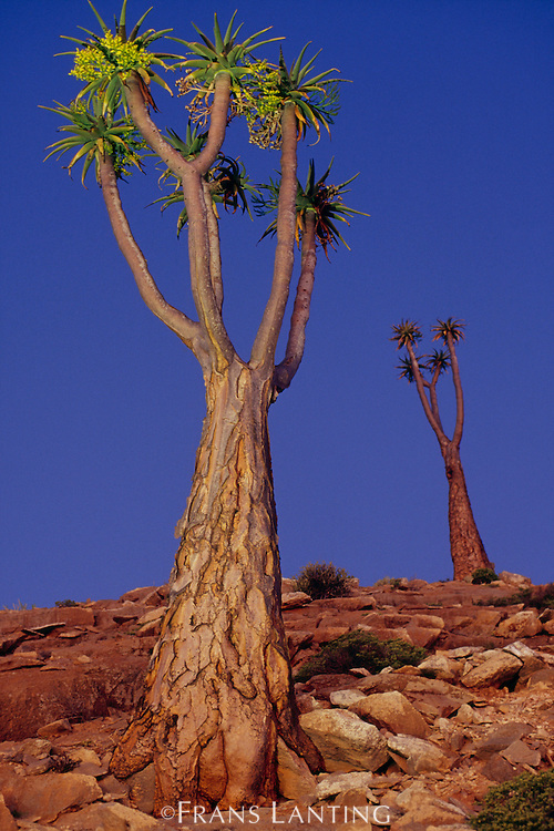 Giant tree aloes at twilight, Aloe pillansii, Richtersveld National Park, South Africa