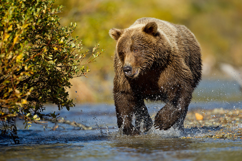 USA, Alaska, Katmai National Park, Grizzly Bear (Ursus arctos) running in shallow stream chasing after spawning salmon along Kinak Bay