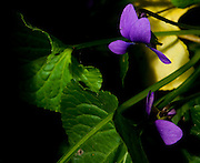 Itabirito_MG, Brasil...Producao de flores comestiveis para serem comercializadas. Na foto a flor Viola (Viola odorata)...The edible flowers, this flowers are seller. In this photo the flower Viola (Viola odorata)...Foto: LEO DRUMOND / NITRO
