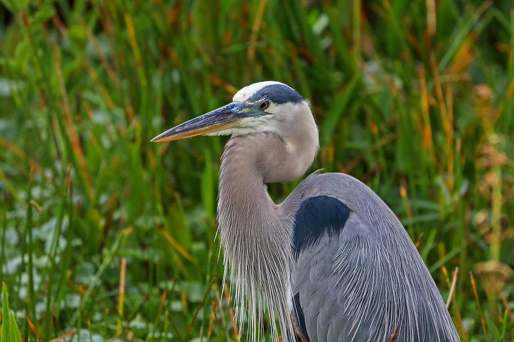 South Florida wading bird photography from outdoor photographer Juergen Roth showing a Great Blue Heron at Wakodahatchee Wetlands in Boynton Beach, Florida. Wakodahatchee Wetlands and Green Cay are amazing places on earth for wildlife viewing and photography in Florida. Upon arrival, there were at least 30 nesting everglades storks in side and while making my rounds on the boardwalk I encountered this Great Blue Heron bemong other bird species. <br />